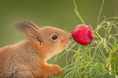 smelling red by geertweggen. @go4fotos