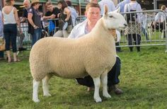 The North Country Cheviot is an extremely versatile sheep and has much to offer the sheep farmer wishing to produce top quality lambs. The North Country Cheviot plays a leading role in the UK's sheep industry.