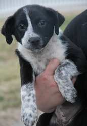 Starla is an adoptable Australian Cattle Dog (Blue Heeler) Dog in Yuba City, CA. Starla is about 9 weeks. She is an active girl. Loves to be very outgoing, silly and playful. She should be around 40-5...