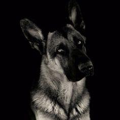German Shepherd!!