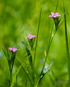 These are Deptford Pink or Dianthus armeria, a member of the Carnation family. Small pink flowers that really pop among the green grass.