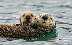 While sea otters sleep in the water, they make sure to hold hands with there partner so they don't drift apart from one anot...