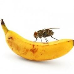 How to Kill Fruit Flies Printable Instructions - My Honeys Place