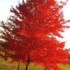 Autumn Blaze in Missouri
