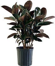 Rubber Plant (Ficus elastica) is a bold, tree-like house plant with large, leathery leaves. Find a profile, picture and rubber plant care tips here.