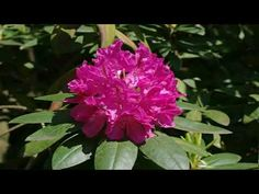 "Rhododendron (from Ancient Greek ῥόδον rhódon ""rose"" and ""tree"") is a genus of species of woody plants in the heath family (Ericaceae), either evergree. Woody, Garden Plants, Flowers, Royal Icing Flowers, Flower, Florals, Woody Allen Quotes, Floral, Blossoms"