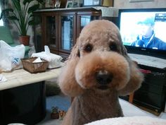 At Granny's house, 2012 Nicolas(standard poodle)