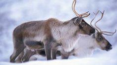 _56291838_reindeer_1.jpg (304×171)
