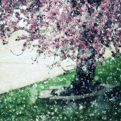 flowering tree | Vintage Rose Garden