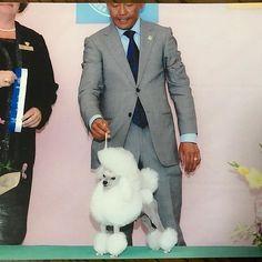 . . うちのジェロくん🏆❤️✨ . 顔が凛々しい!!笑 . ジェロくんは数少ない ヨン様🐩の子供👶です❤️❤️✨ . . シュナウザーが9匹生まれてるので また写真UPします📸✨ . Ameblo☞http://ameblo.jp/winningbettyhouse . twitter☞@betty_house315 . #犬 #犬好き #可愛い #癒し #癒し犬 #癒しワンコ#だいすき #犬好きな人と繋がりたい #写真 #写真好きな人と繋がりたい #トイプードル #ティーカッププードル #愛犬 #愛犬家 #子犬 #極小 #❤️#ブリーダー #自家繁殖 #ウィニングベティーハウス #jkcチャンピョン #ヨン様