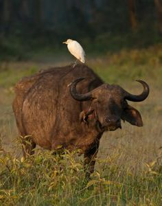 A cattle egret rests on a male cape buffalo, Lake Nakuru National Park, Kenya.