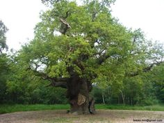 The Major Oak of Sherwood Forest, Nottinghamshire, England Estimated Age 1,000 years