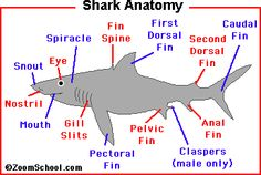 Zoom Sharks - Enchanted Learning Software - all you whant to know about SHARKS