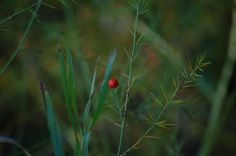 A lonely berry  - http://earth66.com/botanical/lonely-berry/