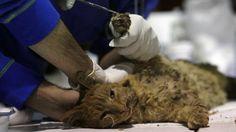 Un chat reçoit des soins. L'École Grecia située en plein centre de la ville, a fait un recensement des animaux sinistrés.