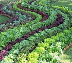 Edible Front Yard Vegetable salad garden landscape - like the alternating colored rows (think borders)