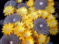 Sulcorebutia arenacea HS 30.