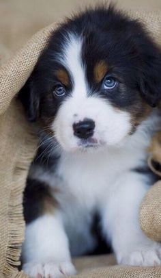 Bernese Mountain Dog pup, such a sweet face❤️