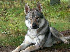 German-Shepherd-Wolf-Mix.jpg