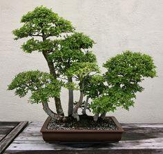 RK:Elm (Ulmus parvifolia) | Flickr - Photo Sharing!