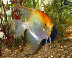 Tropical Paradise Fish: Gold Veil AngelFish - Pterophyllum Scalare http://www.tropicalparadisefish.com/2011/05/gold-veil-angelfish.html