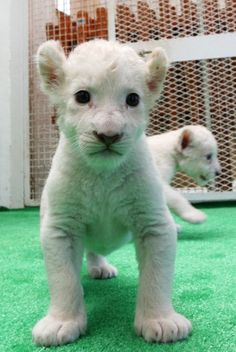 A one-month-old white lion cub!