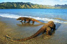 Komodo Island is one island in Indonesia territory. This island has a land area of km and has about 2000 inhabitants. Komodo Island i. Bali, Timor Oriental, Parque Natural, Gili Air, Komodo National Park, Monitor Lizard, Komodo Island, Mundo Animal, Reptiles And Amphibians