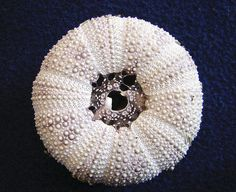 Sea urchin stripped 38-52WTFND by Hodgey, via Flickr