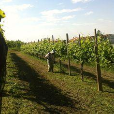 alieni col decespugliatore tra le vigne di #Prosecco #Asolo docg superiore