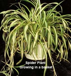 Spider Plant:Chlorophytum comosum: Spider plants have also been shown to reduce indoor air pollution in the form of formaldehyde, and approximately 15 plants would neutralize formaldehyde production in a representative energy-efficient house.