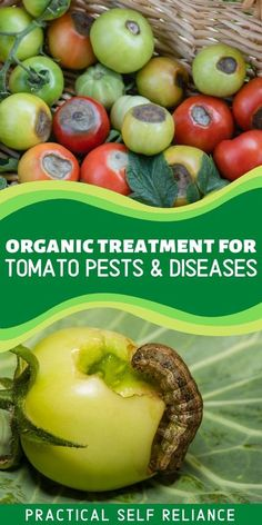 Garden tomato pests and diseases can be frustrating, and left untreated they can result in the loss of a whole crop. Learn how to treat tomato plants with these simple organic, all-natural treatments for common pests and diseases to keep your plant's leaves and fruit healthy!