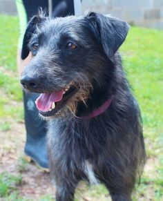 Meet Annie, a Petfinder adoptable Terrier Dog | Enterprise, AL | Annie is a super friendly girl! She is a rough coat Terrier mix, and is about a year old.Behavior...