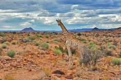 Giraffe on the banks of the Orange River...  it is hard to describe how surreal it is to see these graceful creatures in such an arid landscape.    - Nightjar Travel Blogs