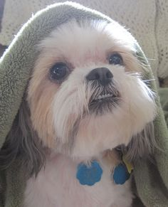 Cute Shih Tzu ZIGGY Love Your Dog? Visit our website NOW!