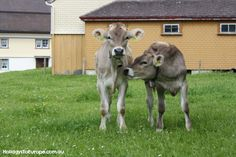 In Appenzell you'll see lots of cows - complete with Swiss cow bells of course!
