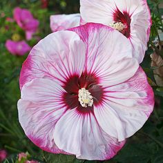 This tie-dye-style plant isn't just for the tropics! This hibiscus can withstand some winter weather: http://www.bhg.com/gardening/flowers/perennials/top-new-sun-loving-perennials-for-2014/?socsrc=bhgpin032515summerificcherrycheesecakehibiscus&page=3