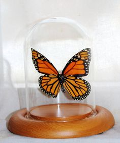$34.99 http://www.etsy.com/listing/127097655/real-monarch-butterfly-glass-dome