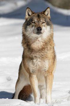 Eurasian wolf // Euraziatische wolf by Willem Verboom on 500px