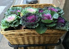 Little gifts of colour are all over the villages of France.These ornamental cabbages were in the carrier of a bicycle,