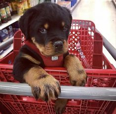 The Rottweiler ranks in the top ten of the most popular dog breeds via the American Kennel Club (AKC). Cute Dogs And Puppies, Baby Dogs, I Love Dogs, Doggies, Pet Dogs, Chihuahua Dogs, Cute Funny Animals, Cute Baby Animals, Funny Dogs