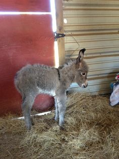this is jesse jo...born Monday Oct 29th 2012...so cute!  minature donkey