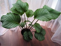 calathea orbifolia - I JUST BOUGHT ONE TODAY, I HOPE IT LIVES!