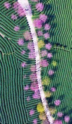 Champs de théiers et cerisiers en fleurs, Chine