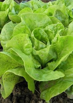 South GA Seed Company specializes in growing and selling Heirloom Seeds. Our Heirloom seeds are NON GMO and open pollinated. Growing Vegetables Indoors, Easy Vegetables To Grow, Growing Plants, Buttercrunch Lettuce, Getting Rid Of Slugs, Lactuca Sativa, Lettuce Recipes, Lettuce Seeds, Growing Seeds