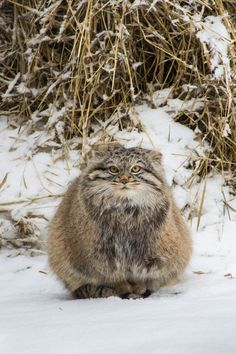 The Pallas's cat, also called manul, is a small wild cat with a broad but fragmented distribution in the grasslands and montane steppes of Central Asia
