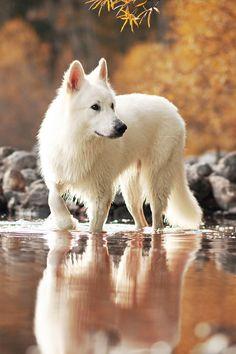 Arctic Wolf in spring waters ~ by Geier