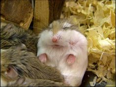 We all went to college with this guy. You know the type, there's one in every class: Sneaks in late, sits in the back, never raises his hand, falls asleep… (Cute Overload) Dwarf Hamster Care, Robo Dwarf Hamsters, Robo Hamster, Funny Hamsters, Animals And Pets, Baby Animals, Funny Animals, Cute Animals, Hamster Pics