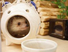 蚊遣り豚は寝床にはしないで遊び場として使ってるみたいです。 #hedgie #hedgehog #ハリネズミ #はりねずみ #pet #刺猬 #ふわもこ部…