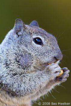 California Ground Squirrel (Spermophilus beecheyi) | Flickr
