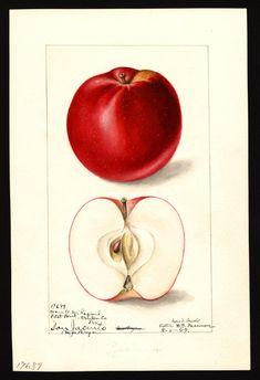 Malus domestica: San Jacinto Artist: Arnold, Mary Daisy, ca. Vintage Botanical Prints, Botanical Drawings, Botanical Art, Vintage Prints, Vintage Art, Science Illustration, Fruit Painting, Celtic, Old Paper